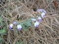 Beautiful Hovea flowers at Yelverton Brook