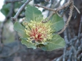 Hakea Flower at Yelverton Brook