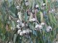 Redgum Nuts at Yelverton Brook
