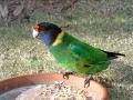 Ringnecked parrots feeding