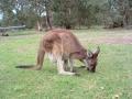 Yelverton Brooks 2011 kangaroo spring babies